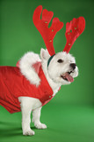 White terrier dog wearing antlers. poster