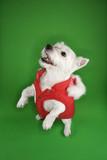 White terrier dog standing on back legs. poster