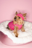 Yorkshire Terrier dog wearing pink outfit. poster