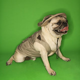 Pug dog wearing safari outfit. poster