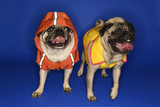 Pugs wearing jackets. poster