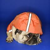 Pug wearing hoodie jacket. poster