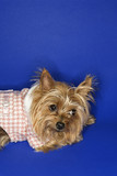 Yorkshire Terrier dog wearing outfit. poster