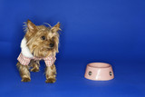 Dog wearing outfit with empty food bowl. poster