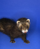brown ferret. poster