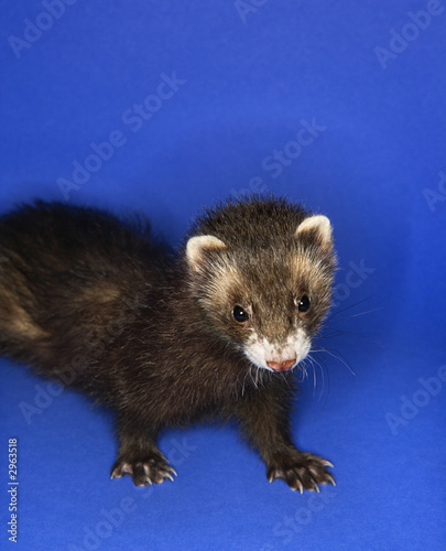 brown ferret.