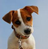 craquant jack russel terrier poster