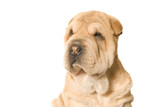 looking sharpei pup poster