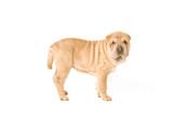 standing sharpei pup poster