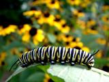 Fototapeta monarch caterpillar