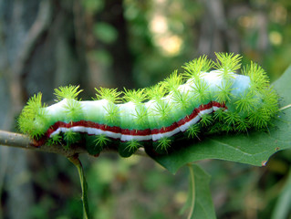 spiny caterpillar