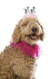 Goldendoodle dog wearing costume. poster