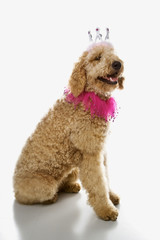 Goldendoodle dog wearing costume.