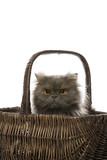 Gray Persian cat sitting in basket. poster