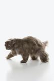 Gray Persian cat walking. poster