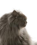 Gray Persian cat. poster