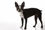 Boston Terrier dog. poster