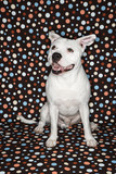 White dog against polka dot background. poster