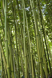 Green bamboo forest in Maui, Hawaii. poster