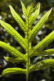 Close-up of Liriope Fern leaf in Maui, Hawaii. poster