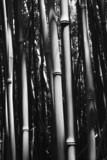 Close-up of bamboo stalks in Maui, Hawaii. poster