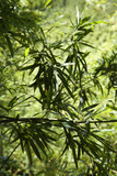 Bamboo leaves in Maui, Hawaii. poster