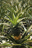 Pineapple sprouting from plant in Maui, Hawaii. poster