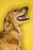 Golden Retriever dog profile. poster