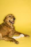 Golden Retriever dog with rawhide bone. poster