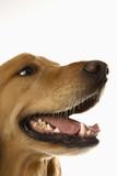 Close up of Golden Retriever dog. poster