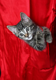 red silk tabby poster
