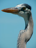 head and neck of a heron poster