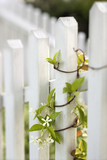 Vine growing on white picket fence. poster