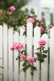 Rose bush growing over white picket fence. poster