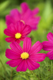 Image of cosmos flower. poster