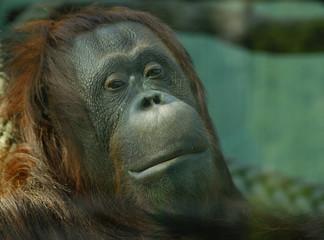 orangutanaffetraurig