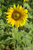Sunflower growing in Tuscany, Italy. poster