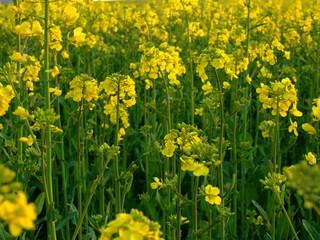 rape seed plant