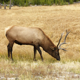 elk grazing in yellowstone national park, wyoming. poster