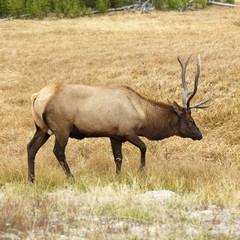elk in yellowstone national park, wyoming.