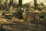 alert whitetail deer poster