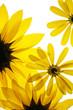 sunflowers on white background