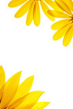 blank white page decorated with natural sunflower