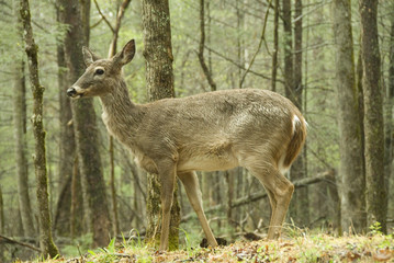 white tail deer in forest