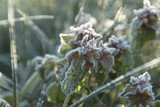 hoar frost covered wildflowers poster