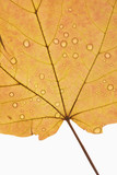 maple leaf sprinkled with water. poster