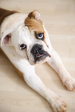 bulldog lying on wood floor. poster