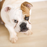 bulldog sitting on wood floor. poster