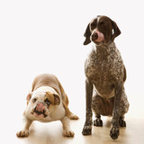 bulldog and pointer sitting licking lips. poster