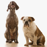 bulldog and german shorthaired pointer portrait. poster